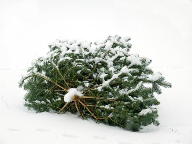 Bild von Einsammeln der Weihnachtsbäume war ein voller Erfolg