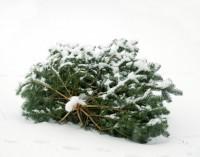 Weihnachtsbäume werden eingesammelt – Helfer sind herzlich willkommen