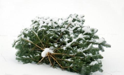 Weihnachtsbäume werden eingesammelt