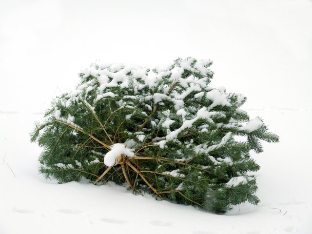 Bild von Weihnachtsbäume werden am Sa, 16. 01.16 eingesammelt